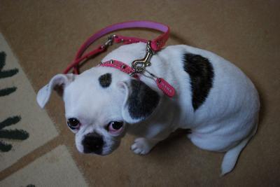ピンクの首輪のはなちゃん1