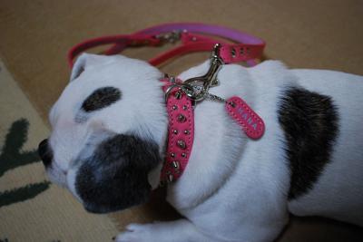 ピンクの首輪のはなちゃん2