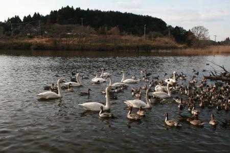 琵琶池の白鳥
