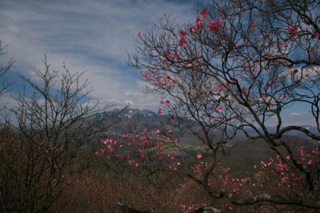 月山のアカヤシオ