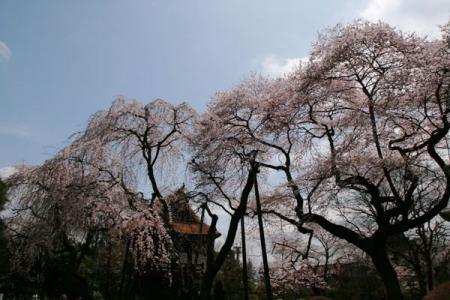 法輪寺の西行桜