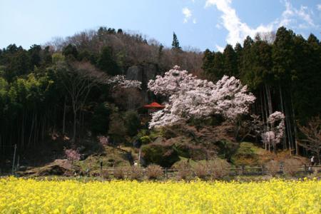 岩観音の桜