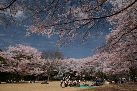 かしの森公園の桜