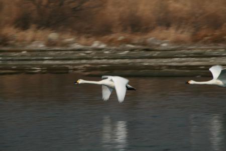 白鳥の飛来地 川本