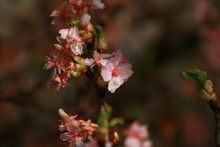 大平町の河津桜