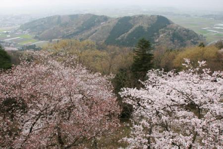 太平山桜まつり