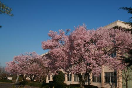 清陵高校の桜