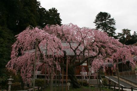 太山寺の桜
