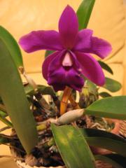 ミニカトレア(紫)