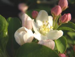 100403ヒメリンゴ花