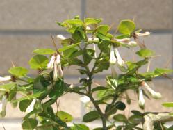 100418アリドオシの花01