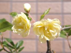 100425黄モッコウバラ花