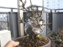 100206満州コナシ取り木