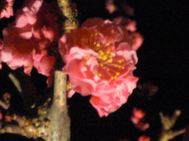 梅のライトアップ1