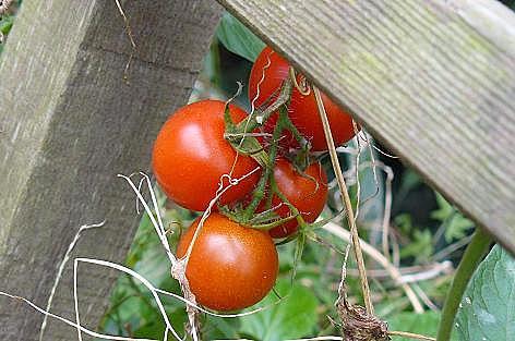 フルーツトマト?