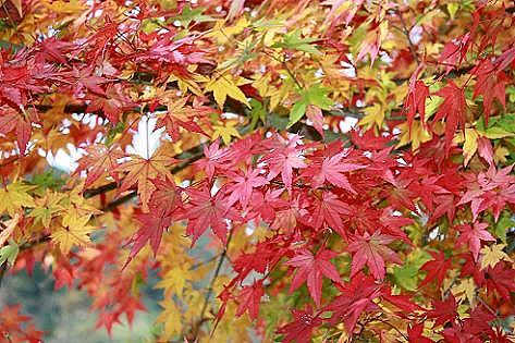 帯の様な紅葉♪