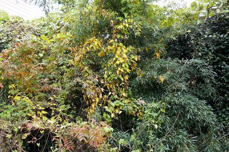 畑の自然薯の黄葉♪