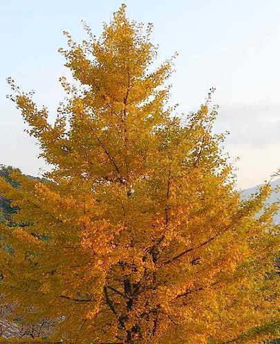 上の道の銀杏の木♪