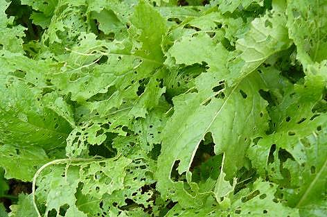 蕪の葉ボロボロ・・・