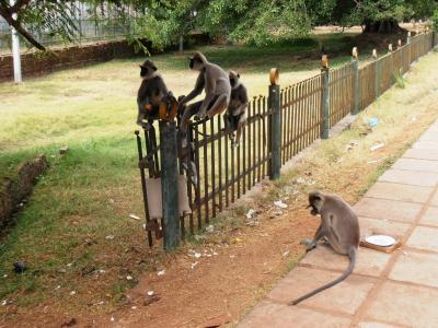 2011年8月タイ-スリランカ旅行スリランカ前半7日アヌラーダプラ猿