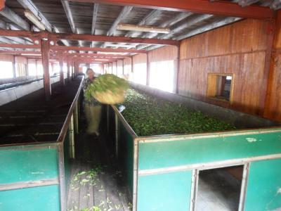 2011年8月タイ-スリランカ旅行スリランカ後半13日ティーファクトリー茶葉選定