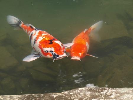 仲良し鯉♪