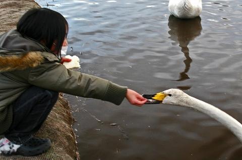 2010羽田沼白鳥 176