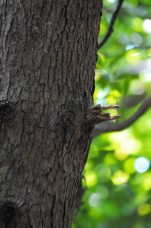 アカショウビンの木