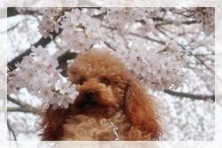 フラッフィと桜