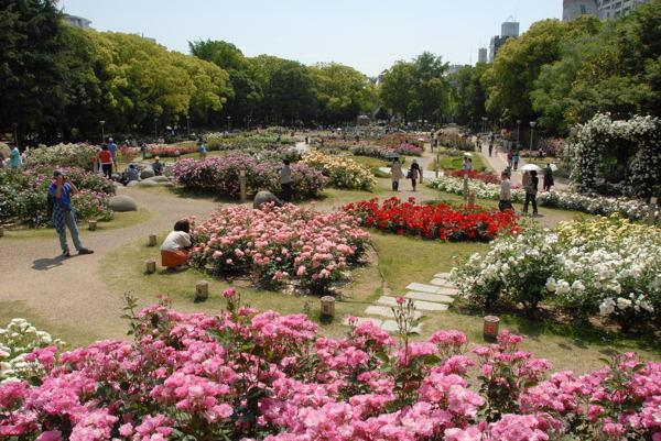 靱公園バラ#01