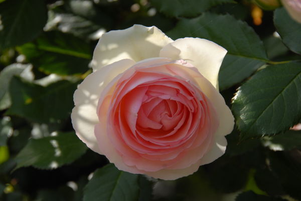 靱公園バラ#02
