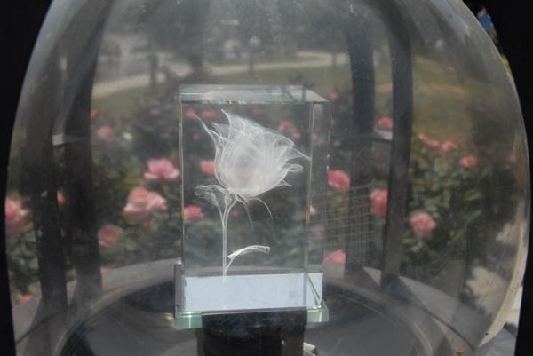 靱公園バラ#05
