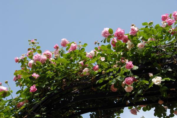 靱公園バラ#06