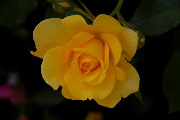 靱公園バラ#12
