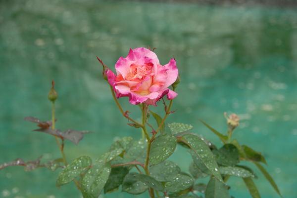 鶴見薔薇#05