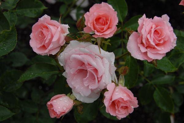 鶴見薔薇#09