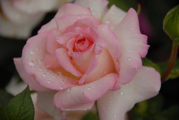 鶴見薔薇#07