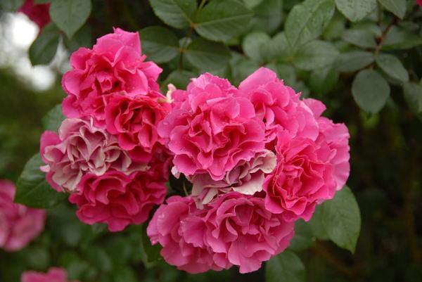 鶴見薔薇#11jpg