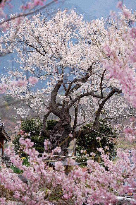 桜400-1