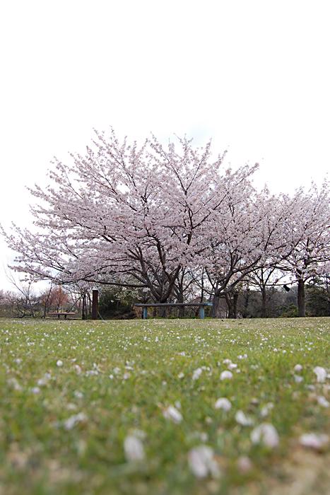 桜-公園-3