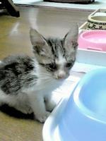 2013/8/30 飼主募集中の子猫♀