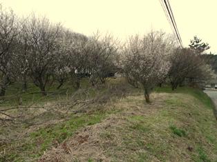 三分咲きの梅