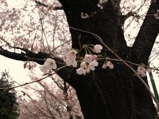 三分咲きの桜