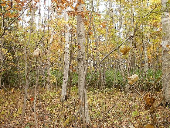 キノコが取れそうな感じの林です