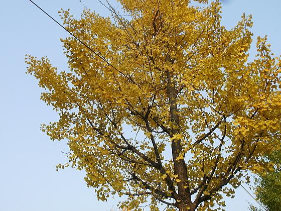 通勤途中には銀杏並木があります。
