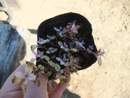 お花みたいなミント