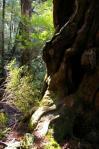 群れる植物(仏陀杉)