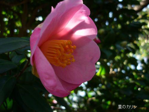 山茶花(近江衣)3