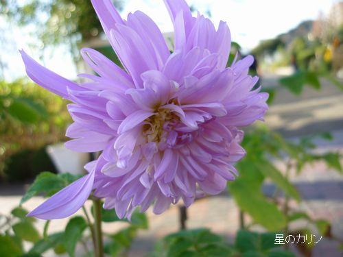 テイオウダリア 八重咲き1