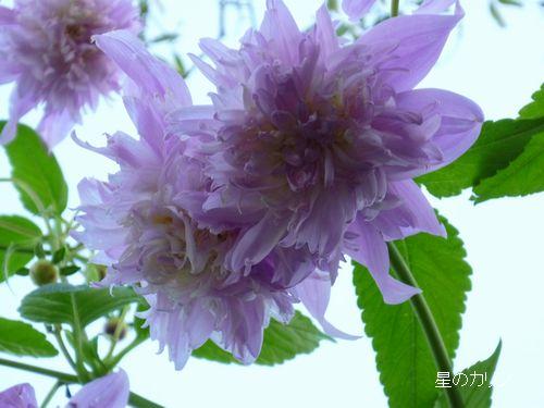 テイオウダリア 八重咲き2